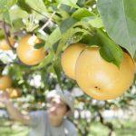 千葉県松戸市の梨狩りが人気。その理由は?