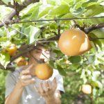 二十世紀梨といえば鳥取県!秋に梨狩りができる人気スポットを一覧にまとめてみました!