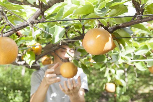 梨 鳥取 梨狩り 果物