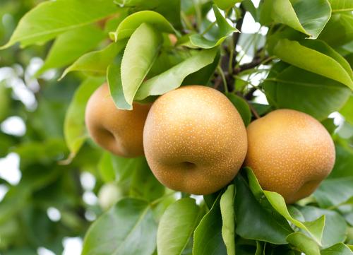 梨 宮城 梨狩り 果物