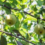 千葉は梨の生産量が日本一!梨狩りにオススメの時期はがあるって知ってた?