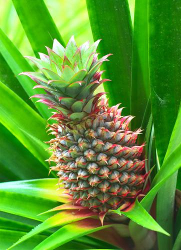 パイナップル 花 色 時期