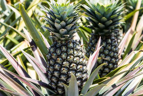 パイナップル 収穫 目安 時期 タイミング 方法
