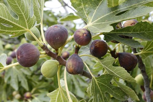 イチジク 甘い 完熟 品種