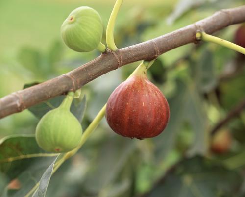 イチジク 蓬莱柿 スミルナ ビオレ・ソリエス 特徴