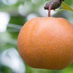 梨はどのぐらいの年数で実が生るの?収穫時期の目安とおいしい梨の見分け方とは?