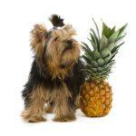 パイナップルは動物に食べさせてもよいのか