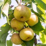 梨の種類、豊水、幸水、新高、かおり、にっこりの日持ちについて