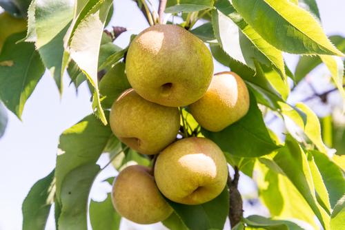 梨 栄養 ない 皮