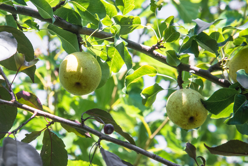 梨 収穫 いつ