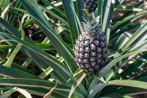 パイナップル 栽培 育て方 気温 期間