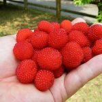 苺と木苺、またへびいちごの違いは何ですか?