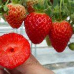 イチゴの品種レッドパールが韓国に流出?どれぐらいの値段で販売しているの?
