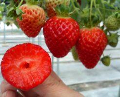 イチゴ レッドパール 品種 値段 韓国