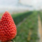 イチゴ栽培の始め方、また夏の管理方法は?