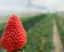 イチゴ 夏 栽培 管理