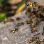 イチゴの受粉に必要なミツバチが飛ばない!ミツバチを集まりやすくする方法などについて