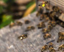 イチゴ 受粉 ミツバチ