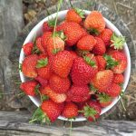「炭疽病」という病気からイチゴを守ろう!~症状と対策について~