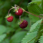 イチゴの栽培で農薬の使用回数を減らす方法