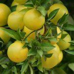 グレープフルーツに含まれる栄養と食べ方