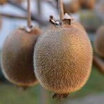 キウイの栽培方法 ベランダでも栽培できる?