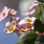 イチゴの苗の栽培について、どのように消毒する?