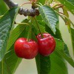 さくらんぼの開花時期や花言葉は?さくらんぼの種類と品種について