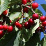 さくらんぼの葉に多い病気は?さくらんぼの葉に多い害虫被害について