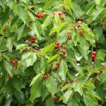 さくらんぼの育て方で、挿し木とは何?