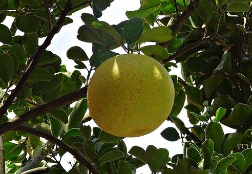 グレープフルーツ つわり 効く