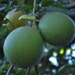 グレープフルーツの果汁に含まれている成分とその効果について
