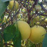 グレープフルーツの香りで虫よけ対策