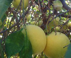 グレープフルーツ 香り 虫