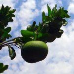 グレープフルーツの育て方、土はどのようなものを使う?