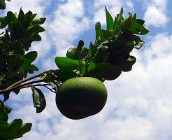 グレープフルーツ 育て方 土