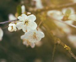 さくらんぼ 桜 関係