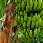 朝にバナナを食べる効果!何本がいい?