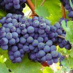 ブドウはどうやって着色されるの?紫外線などの影響について