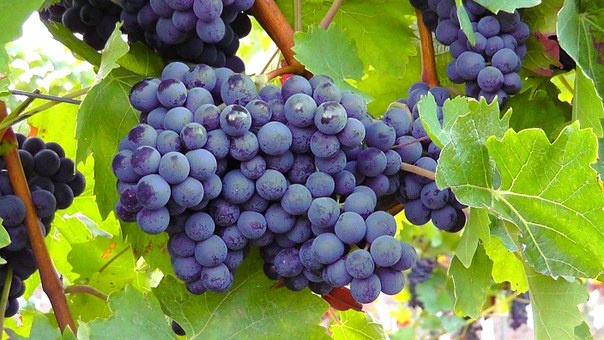 ブドウ 着色 紫外線 影響