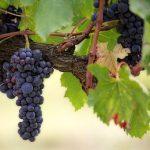 ぶどうの栽培の難易度とぶどうの品種