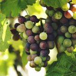 山梨のぶどう生産量と品種、時期について