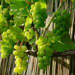 人気のある葡萄の品種にはどのような品種がある?