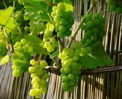 葡萄 人気 品種