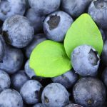 ブルーベリーの品種のパトリオットの育て方のコツは?パトリオットの収穫時期やどのような味?