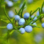 ブルーベリーの都道府県の生産量は? 日本で栽培できるブルーベリーの品種は?