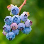 ブルーベリーを種から発芽させる方法は?意外と簡単に栽培出来るって知ってた?