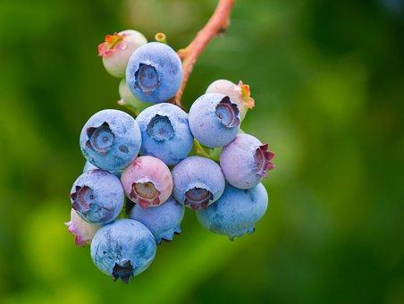 ブルーベリー 種 発芽 方法