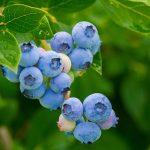 ブルーベリーの植える場所や時期はいつ頃?植える間隔はどのくらい?