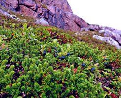 ブルーベリー 肥料 やりすぎ 対処法